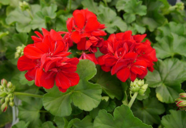 Rød Pelargonium - klassiker å glede seg over