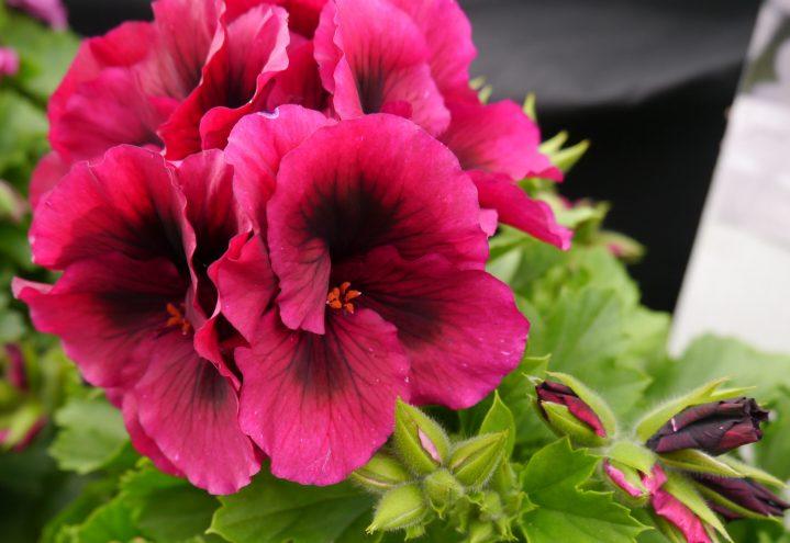 Engelsk pelargonium, nærbilde