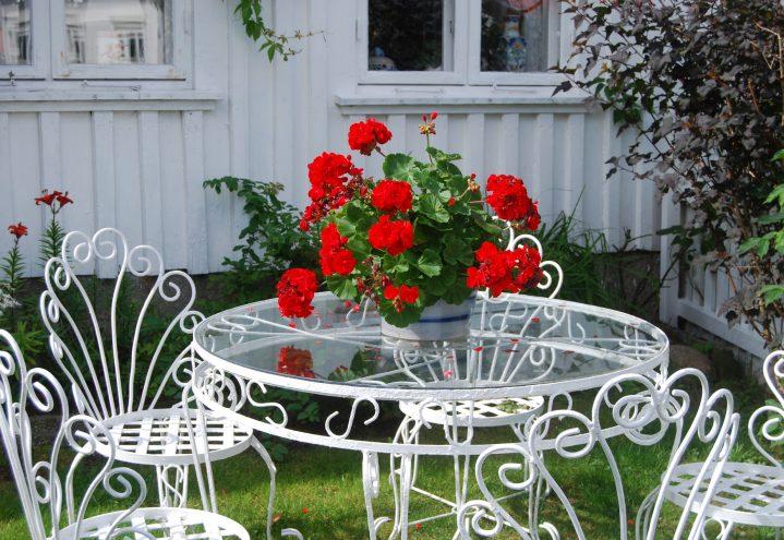Pelargonia i romantisk hage