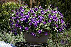 Petunia i blått