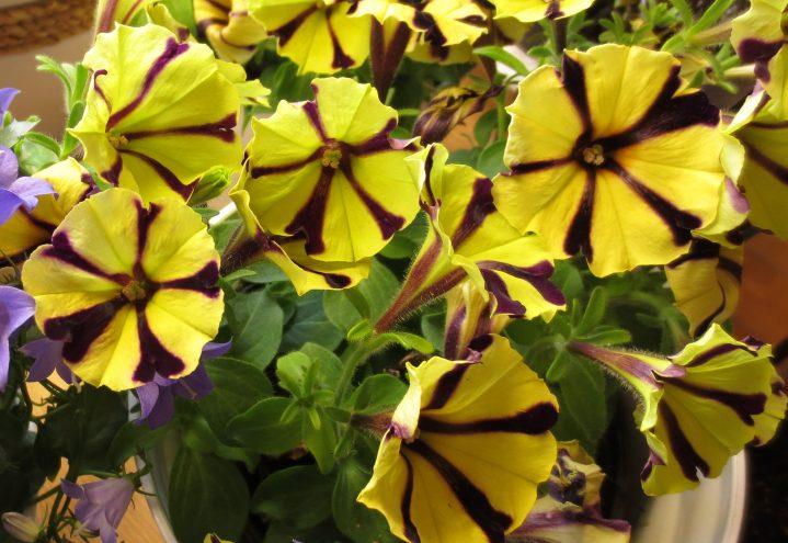 Petunia i gult og svart