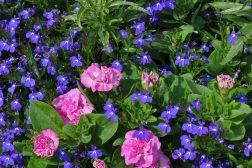 Petunia, lobelia og salvie