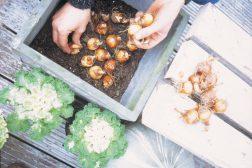 Planting av krokus
