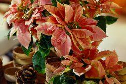 Julepyntet hus med julestjerner i fersken og kanelfarger