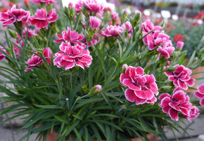 Nellik, Dianthus