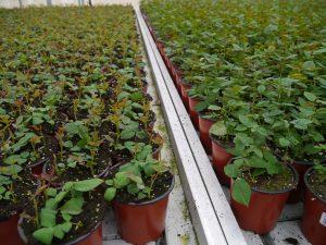 Potteroser vokser fort, etter bare 2-3 uker er stiklingene rotet og klar for videre liv