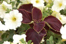 Praktspragle og petunia hybrid