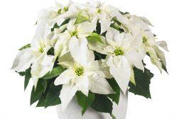 Den hviteste Princettia – Pure White