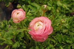 Rosa vår-ranunkel