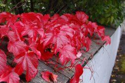 Høstfarge i hagen – hvor kommer høstfargene fra?