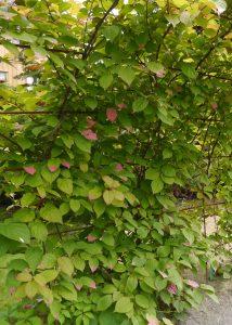 Rødkattebusk, Actinidia kolomikta