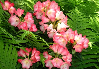 Rhododendron i all sin prakt