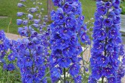 Sommer i blått – blå blomster til krukker og blomsterbed