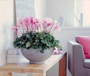 Rosa Cyclamen i interiør