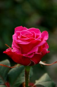 Mørk rosa rose