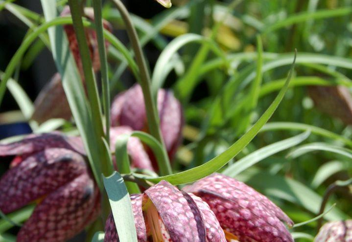 Rutelilje, Fritillaria meleagris