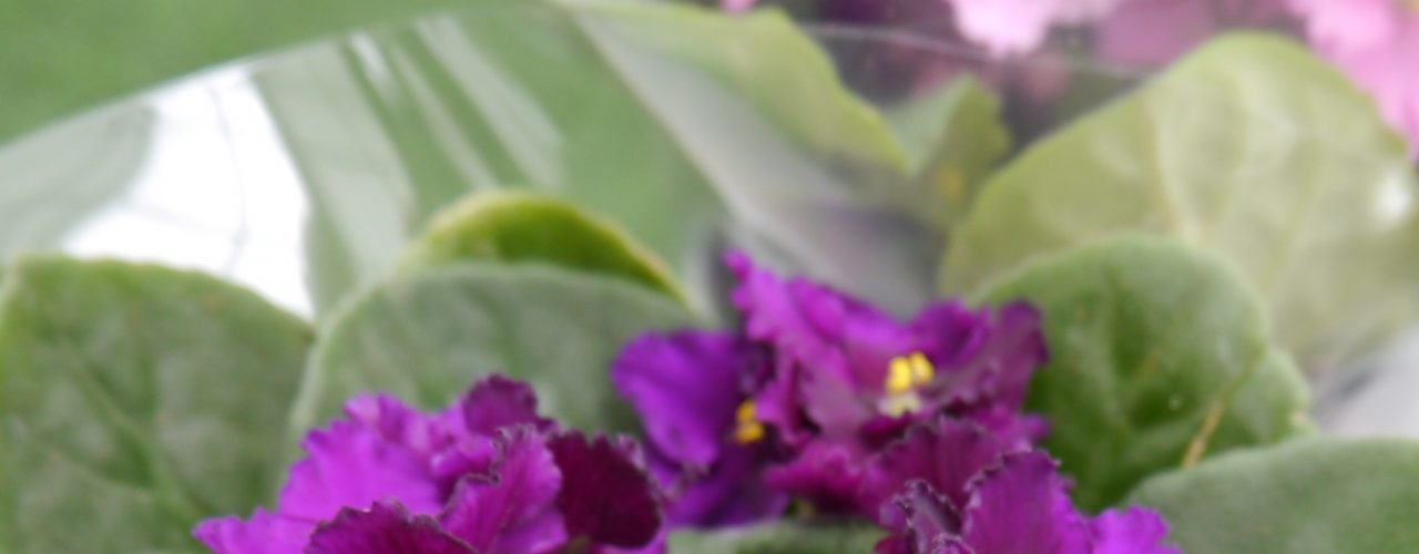 Flott, lilla Saintpaulia