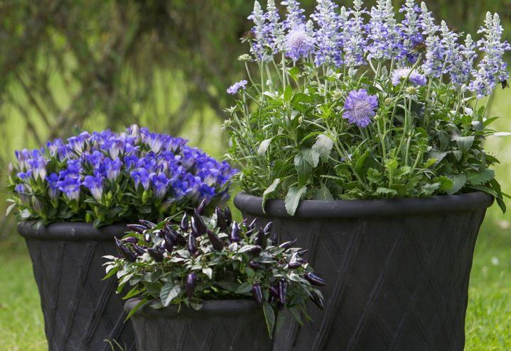 Lekre krukker med Scabiosa, Salvia, Gentiana og Capsicum