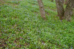 Scilla sibirica gir et blått teppe i hagen