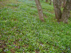 Scilla er de vakre blå blomstene i plen og blomsterbed