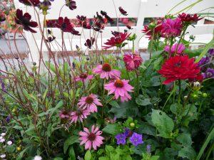 Blomsterbed med sjokoladecosmos, purpursolhatt og georgine