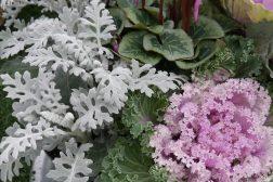 Sølvblad, cyclamen og pyntekål i høstskål
