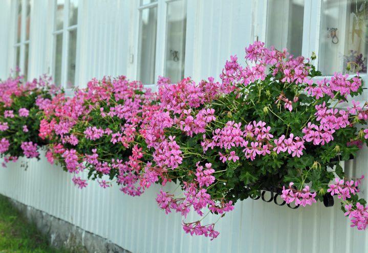 Slyngpelargonium, Pelargonium peltatum i lysrosa