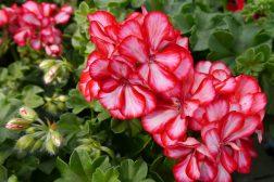Sydenstemning med Pelargonium
