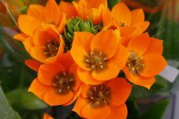 Knall oransje Solstjerne, som også kalles Ornithogalum