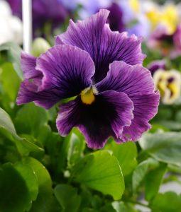 Stemorsblomst lilla