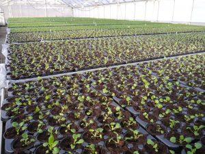 Stemor som vokser i veksthus