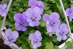 Hva betyr det at en plante er svartelistet eller uønsket?