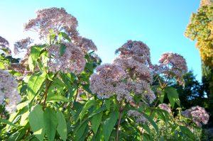 Storhjortetrøst, Eupatorium purpureum er en blomstrende hagebusk