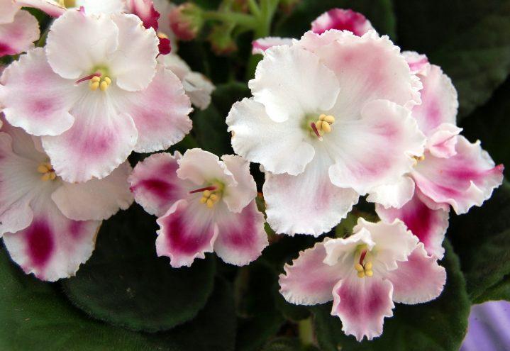 Nærbilde av rosa saintpaulia