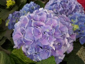 Stuehortensia blå