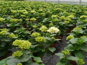 Stuehortensia begynner å blomstre i veksthuset