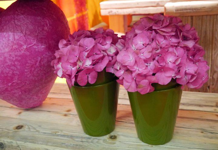 rosa stuehortensia