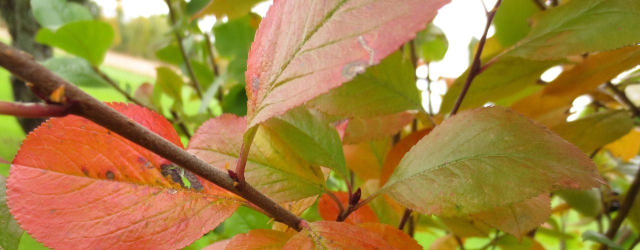 Svartsurbær, Aronia melanocarpa i høstfarge