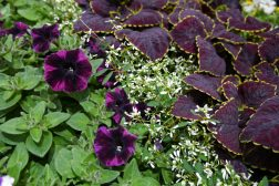 Sommerkrukker: Petunia, stjerneeuphorbia og praktspragle
