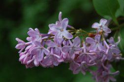 Syrin, enkel blomsterklase
