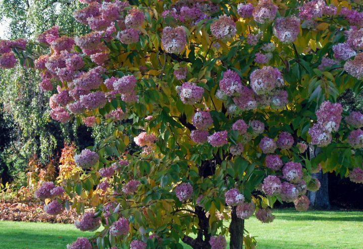 En av hagens juveler: Oppstammet Syrinhortensia Hydrangea paniculata