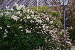 Hekk av vårblomstrende syrin og fagerbusk