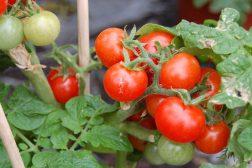 Cherrytomater til høsting