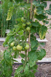 Tomatplante med kart