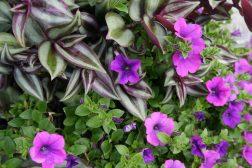 Enkel sommerkrukke med Tradescantia og Petunia
