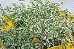 Trekløver Trifolium