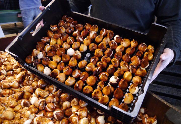 Tulipanproduksjon, brett med løk