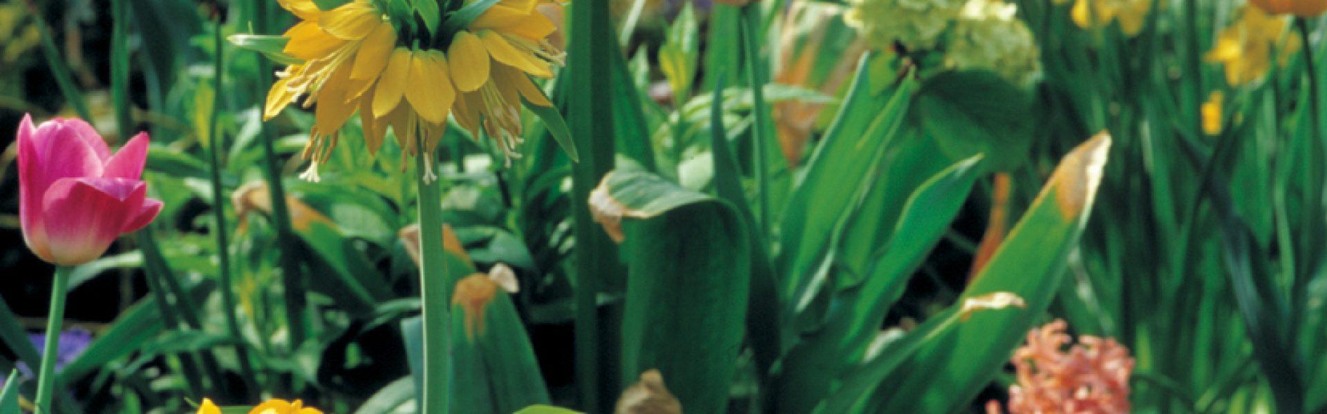 Hva skal man gjøre når påskeliljer, tulipaner og liljer er ferdige med å blomstre?