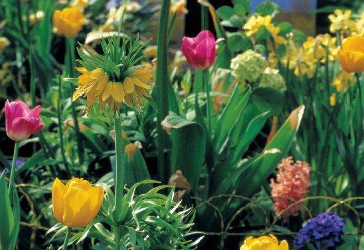 Blomsterløk i frodig mangfold