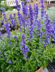 Ullsalvie, Salvia farinacea, blå blomster